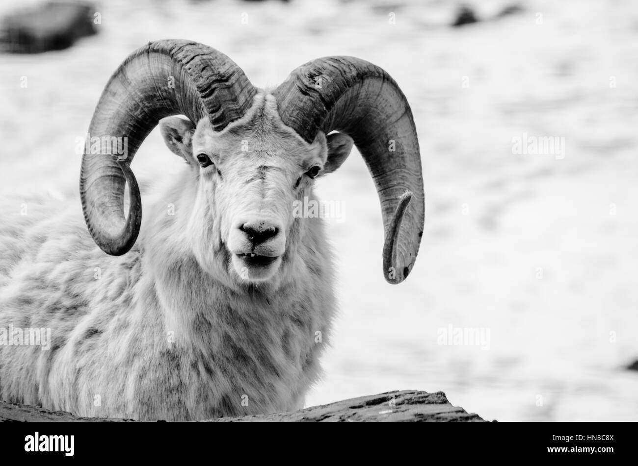 Mammal Ram Black and White Stock Photos & Images - Alamy