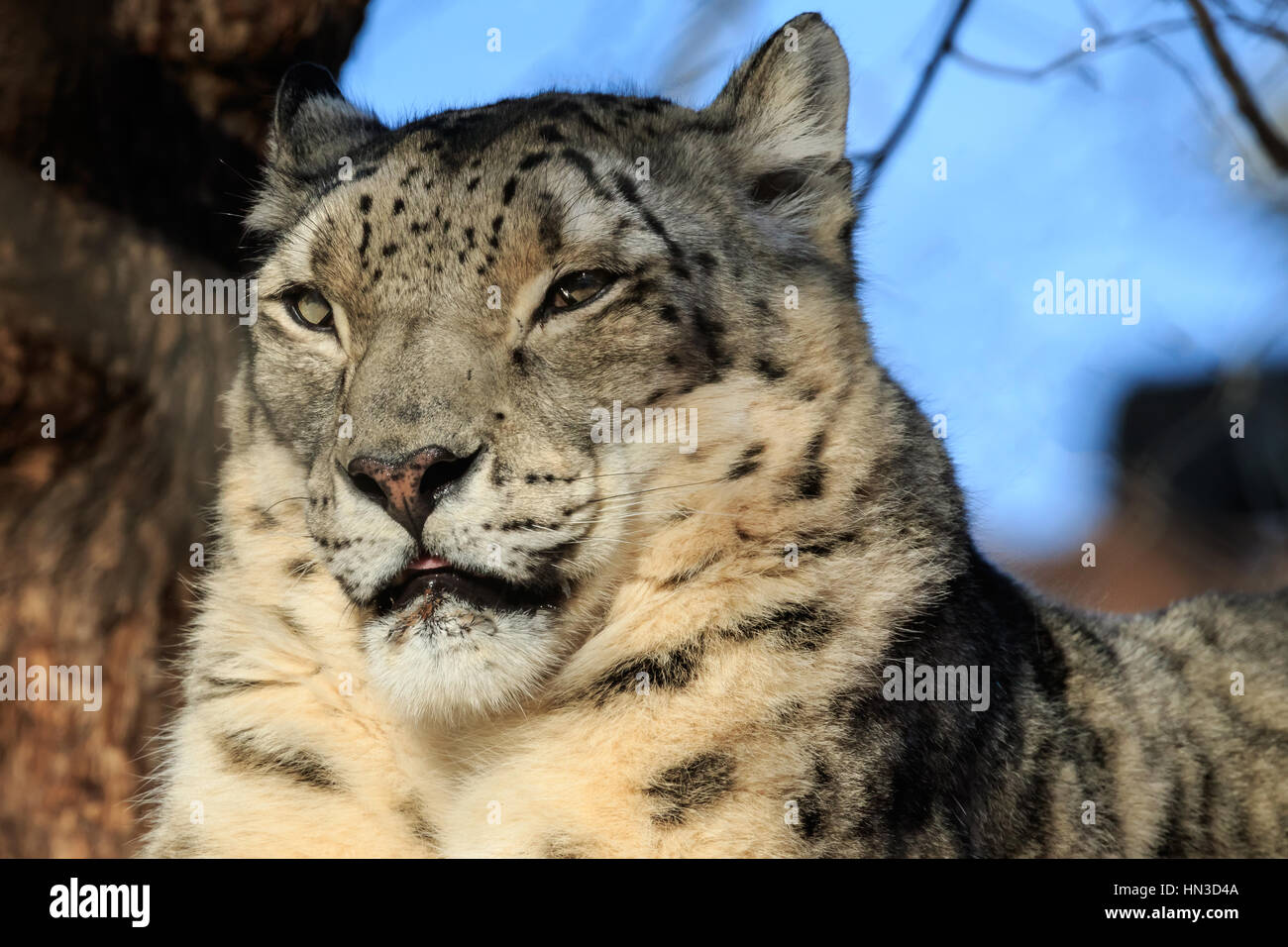 A Snow Leopard from the Oklahoma City Zoo. - Stock Image