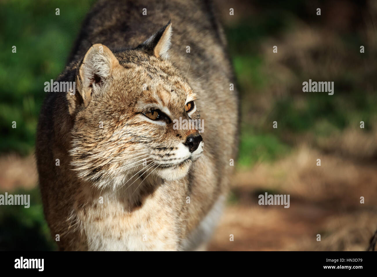A bobcat in the Oklahoma city Zoo poses for his portrait - Stock Image