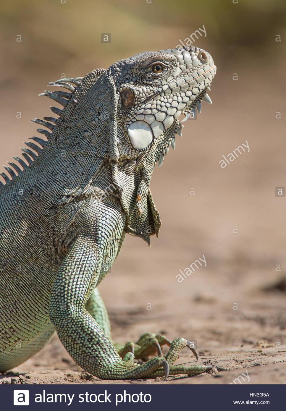 Portrait of a green iguana, Iguana iguana, along the Cuiaba River. Stock Photo