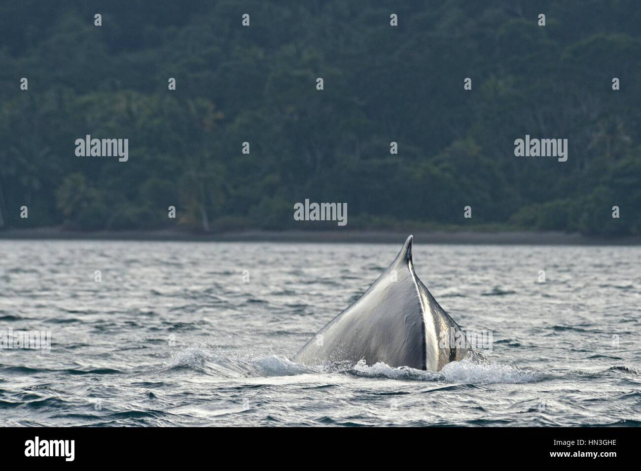 A humpback whale, Megaptera novaeangliae, in the Pacific Ocean off Gorgona Island. Stock Photo