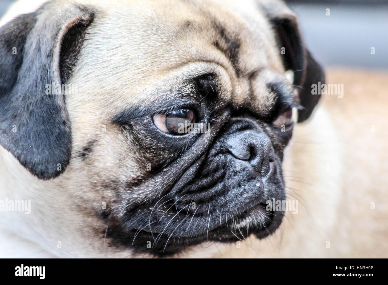 Super cute pug dog giving her best smile for the camera - Stock Image