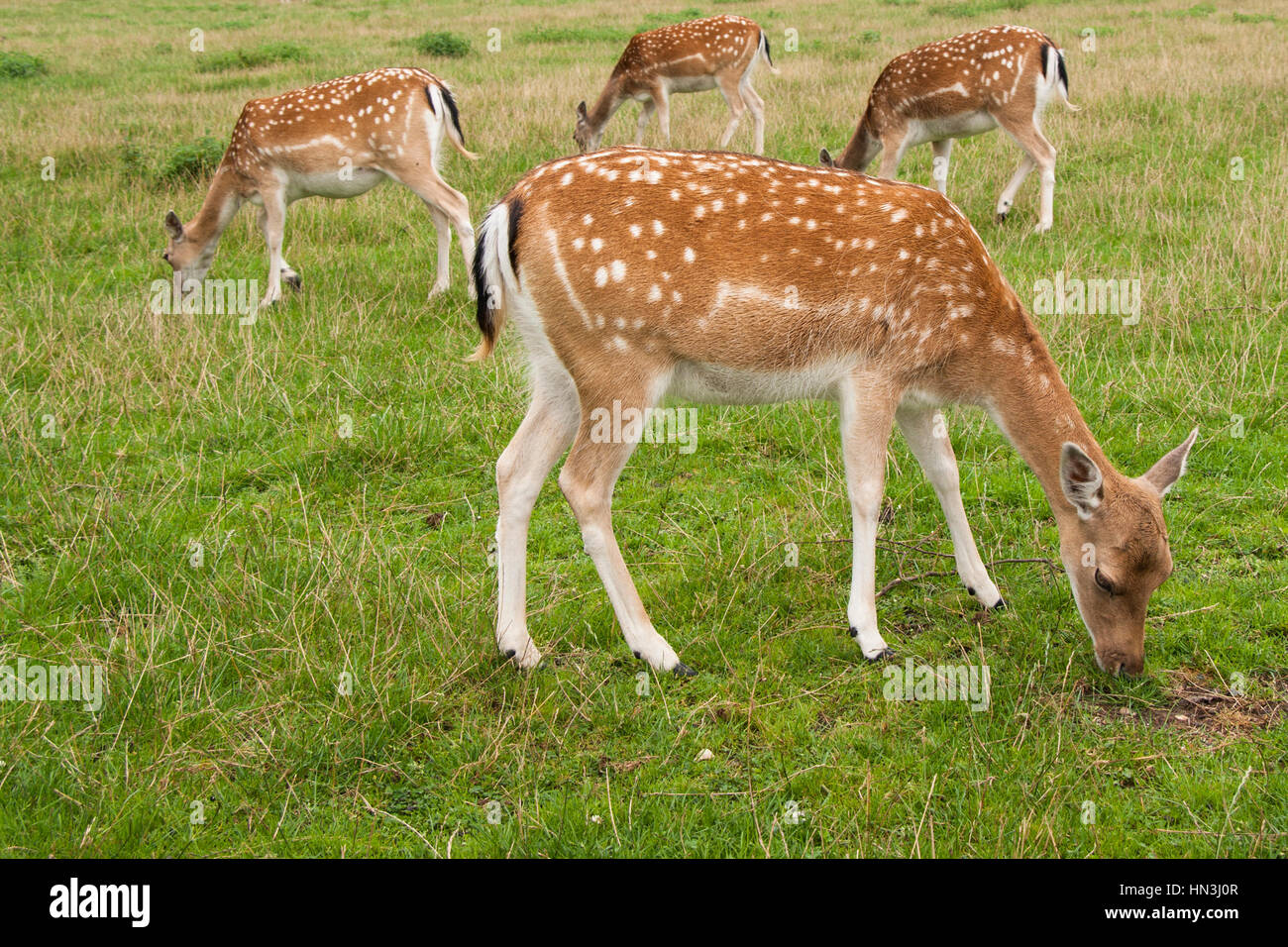 Four Fallow Deer does, one in foreground, three behind, grazing in field standing sideways on Stock Photo