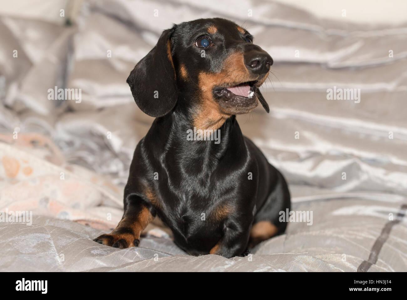 how to train a miniature dachshund puppy