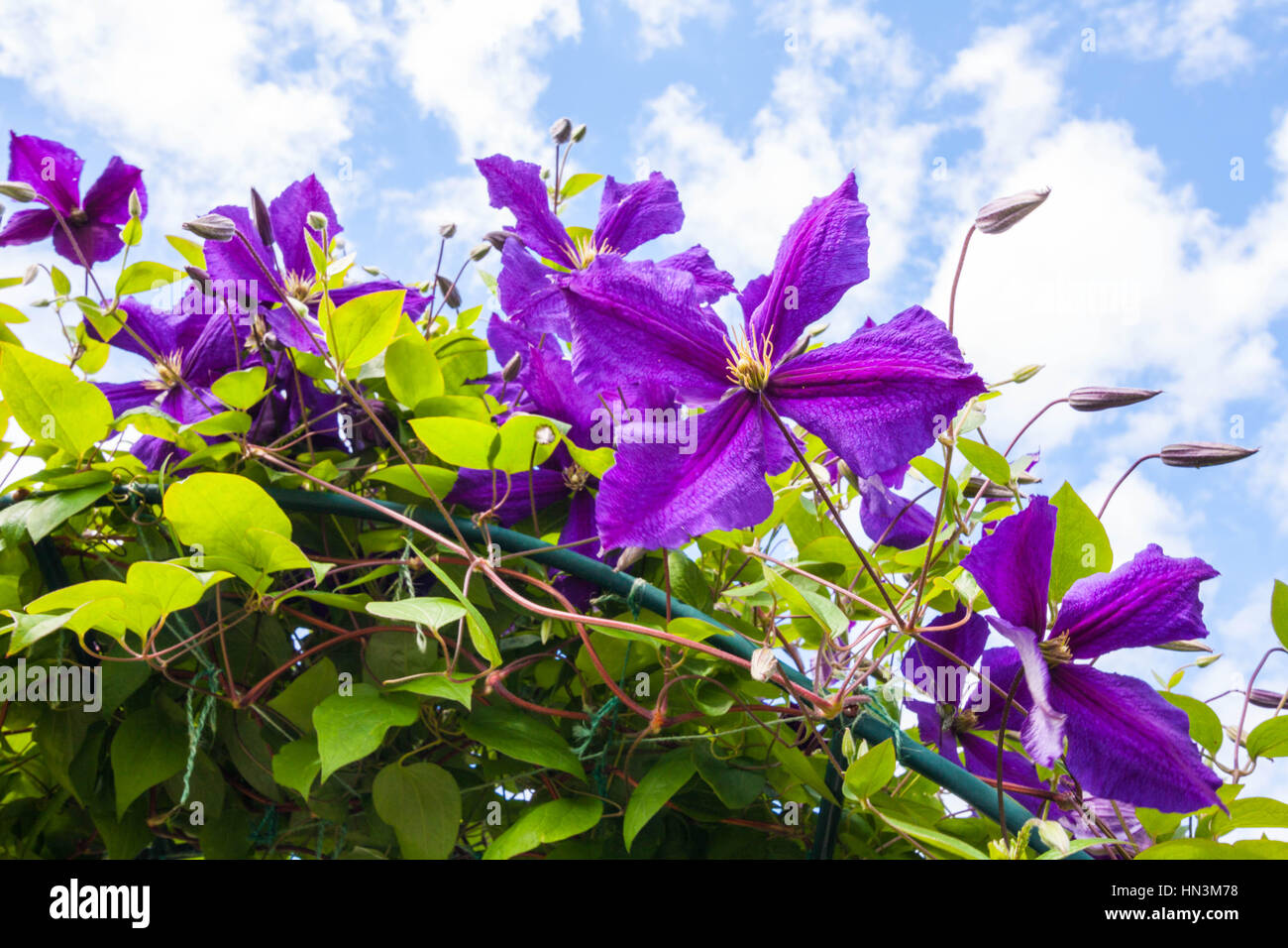 Clinging Vine With Purple Flowers Stock Photos Clinging Vine With