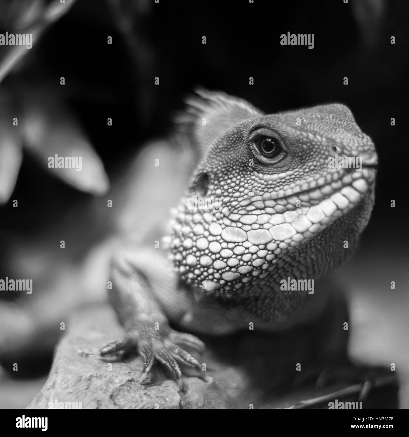A large chameleon with defined scales - Stock Image