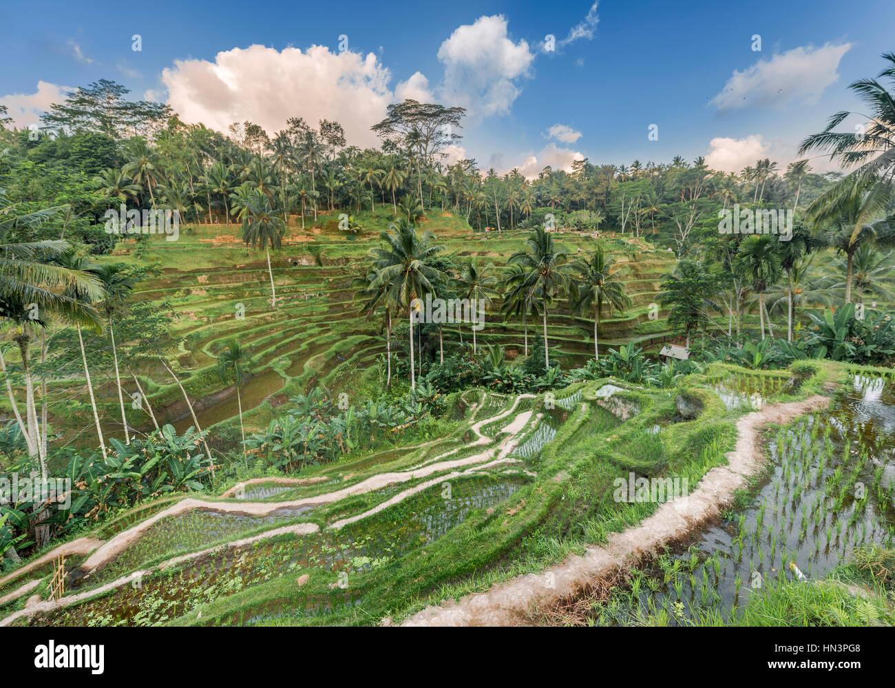 Jatiluwih rice terraces, Penebel, Bali, Indonesia - Stock Image