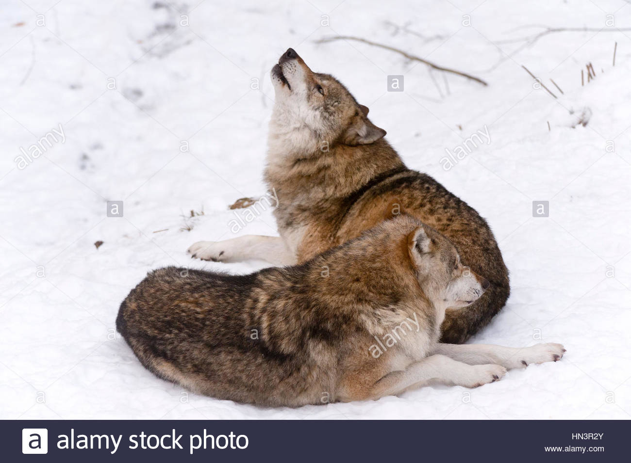 Two Gray wolves, Canis lupus, howling in Bavarian Forest National Park. - Stock Image