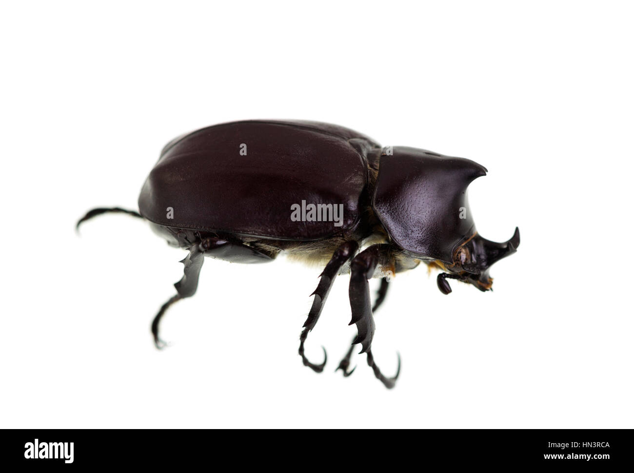 The Male Rhinoceros Beetle, also called Xylotrupes Ulysses, is an insect that lives on decaying vegetable matter. - Stock Image