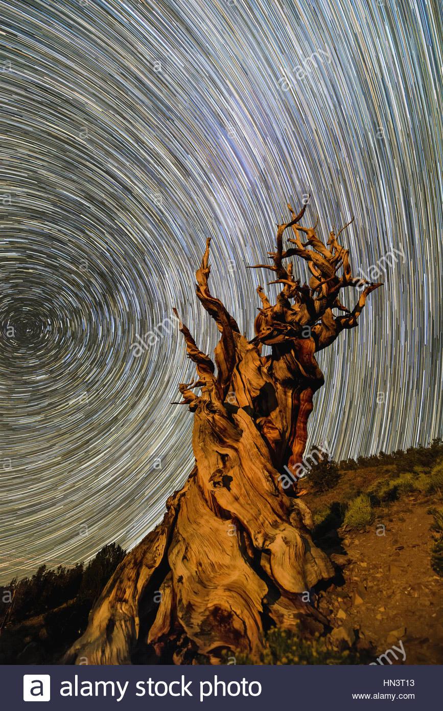 Star trails around the north celestial pole above a bristlecone pine tree in California. - Stock Image