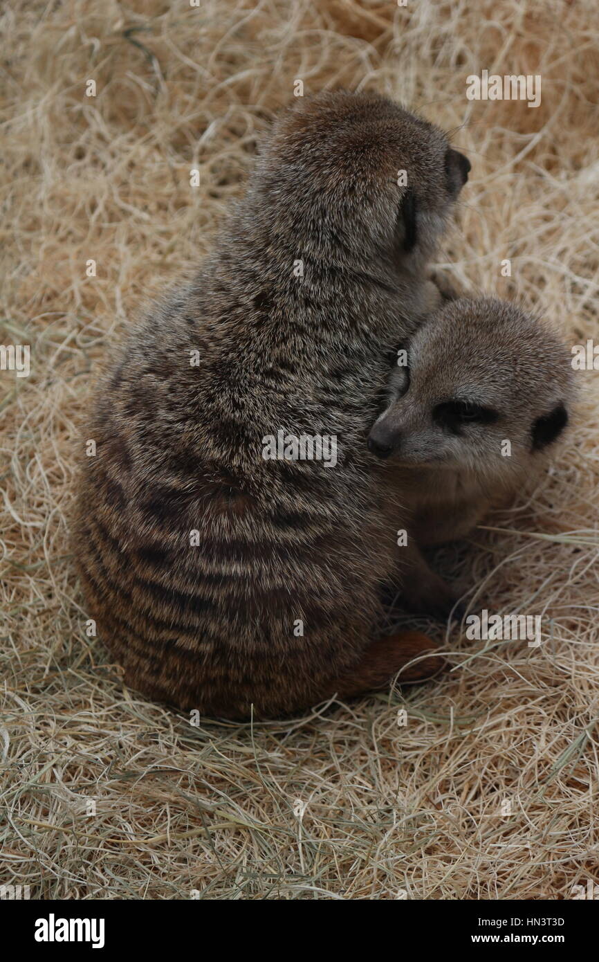 baby meerkat cuddling to fight the cold - Stock Image