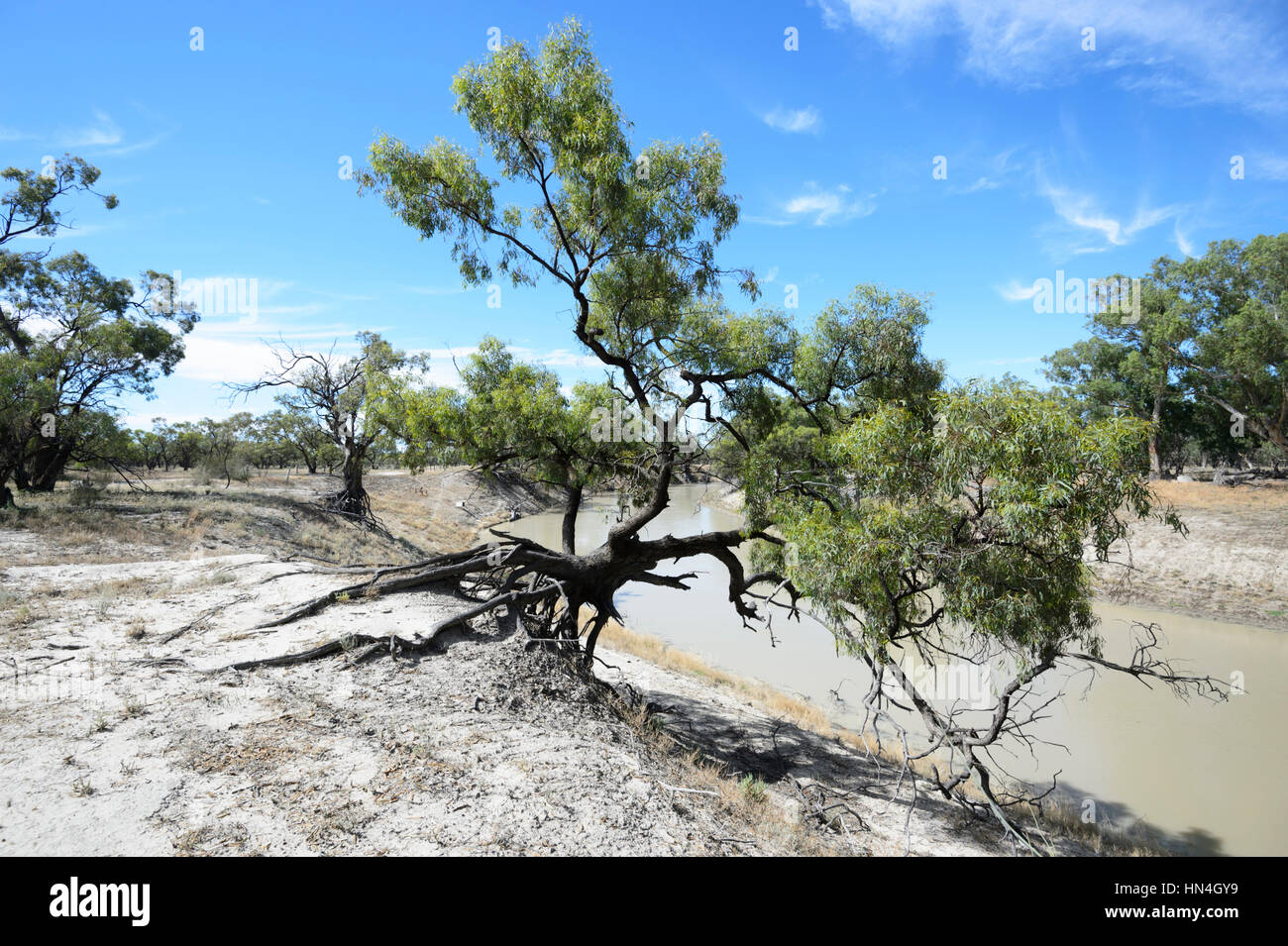Tree with roots exposed by erosion from the Darling River, Bindara Station, New South Wales, Australia - Stock Image
