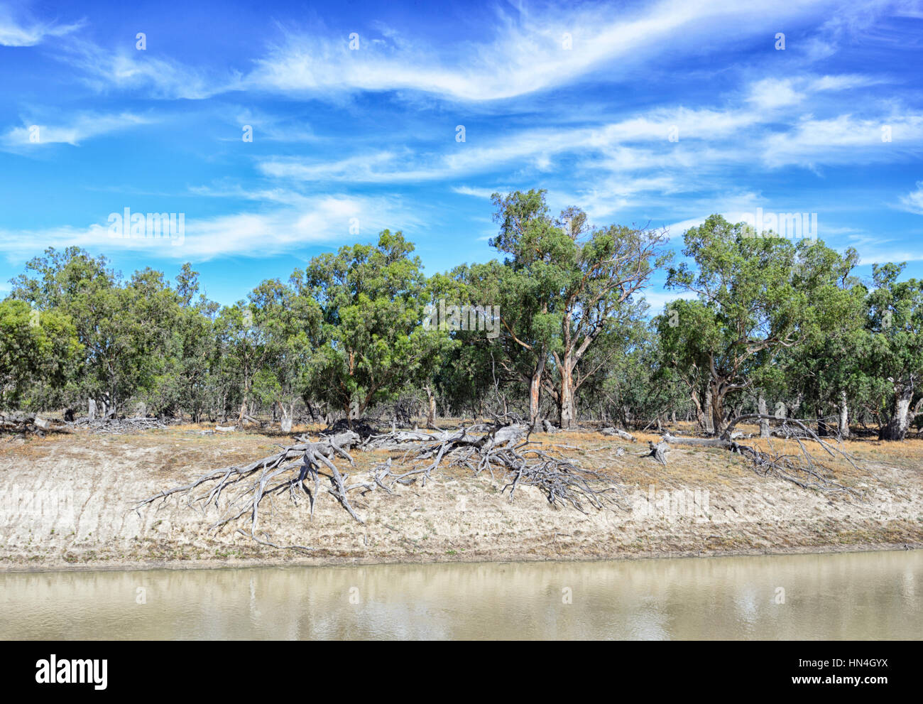 Gumtrees with exposed roots on the riverbank of the Darling River, Bindara Station, New South Wales, Australia - Stock Image