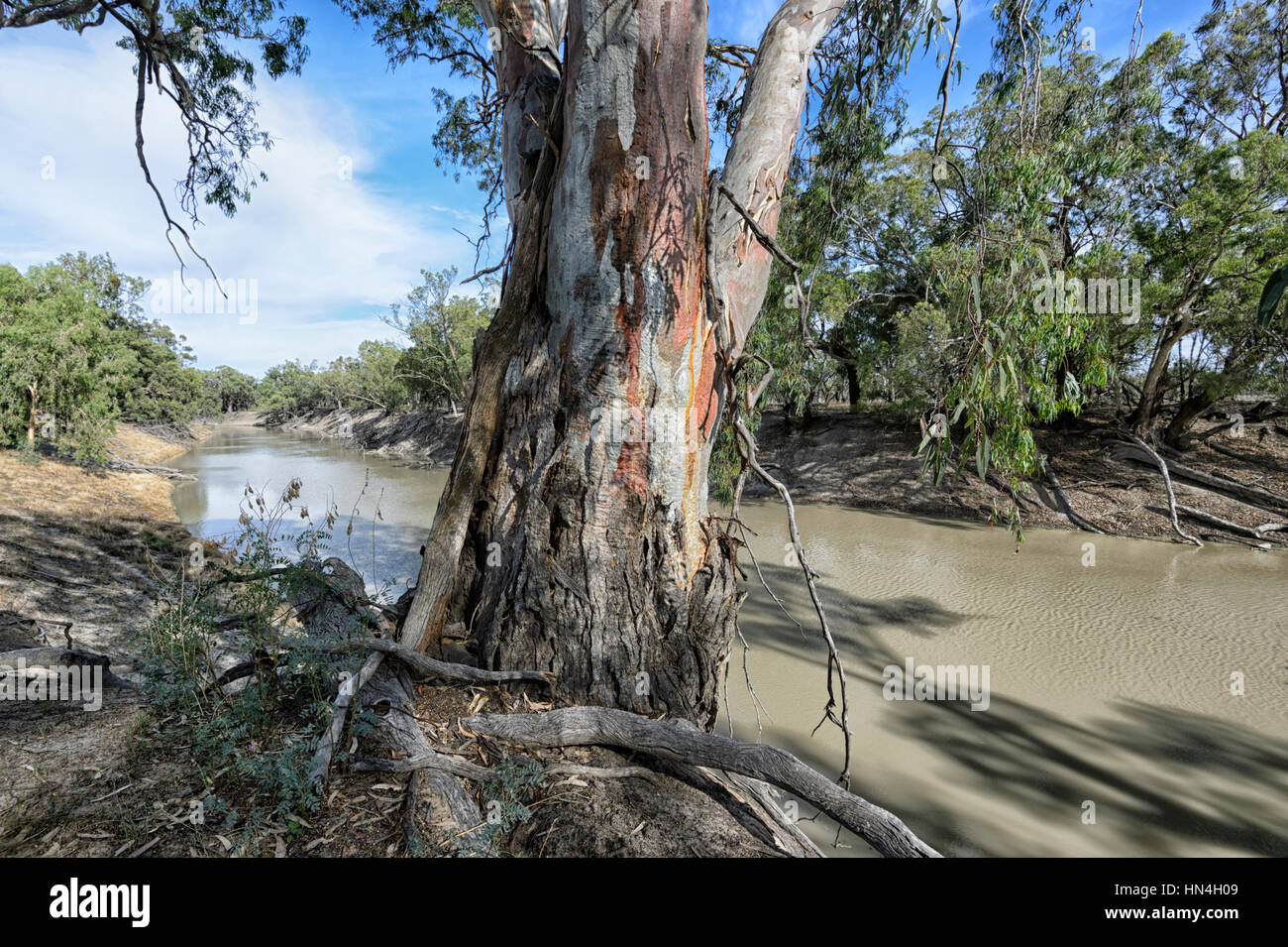 Giant Red River Gum Tree (Eucalyptus camaldulensis) along the Darling River at Bindara Station, New South Wales, - Stock Image