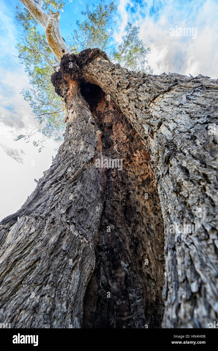 A Canoe Tree used by Aborigines and later damaged by termites, Bindara Station, New South Wales, NSW, Australia Stock Photo