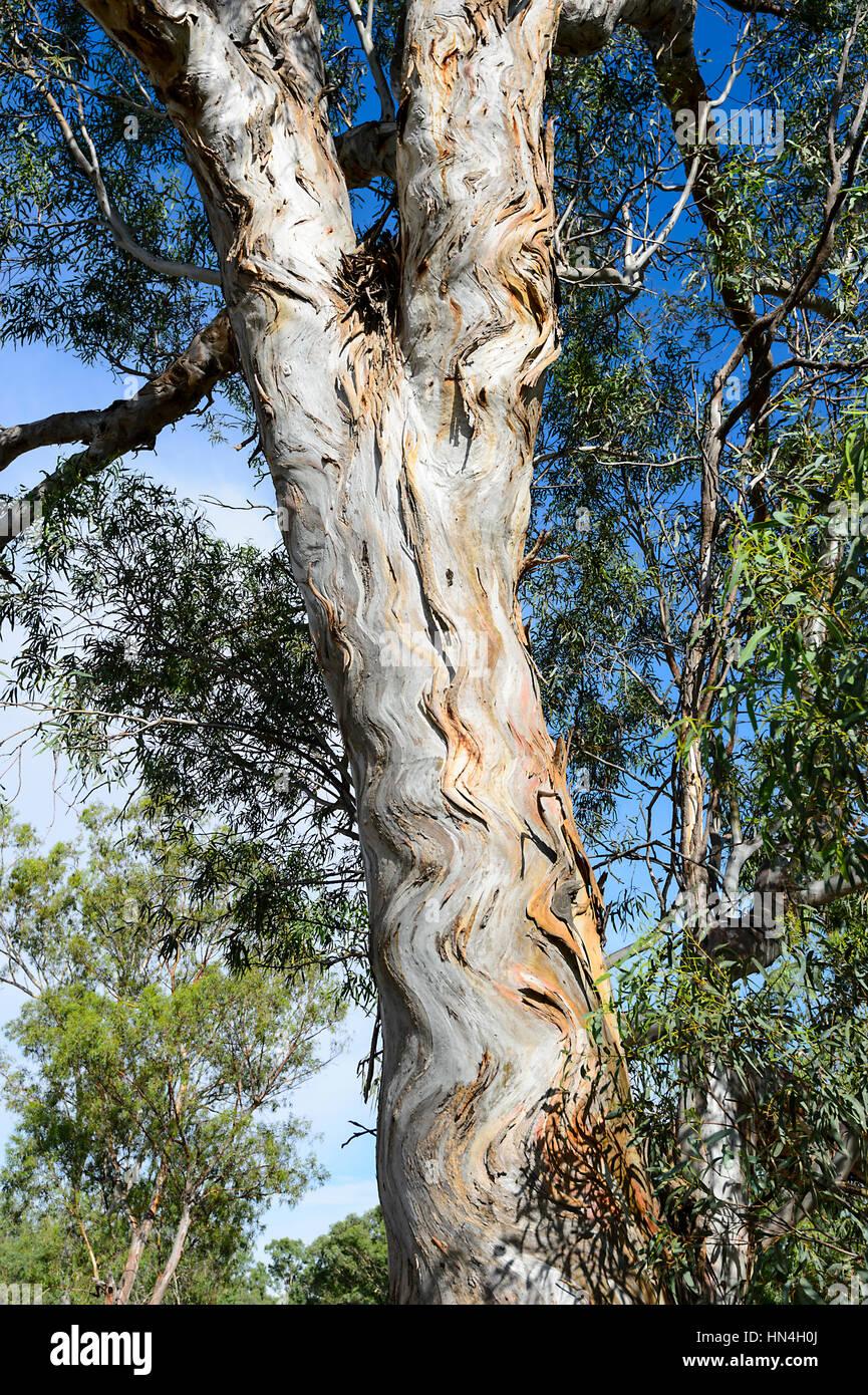 "The ""Zig-Zag Tree"", a eucalyptus with wavy bark, Bindara Station, New South Wales, NSW, Australia Stock Photo"