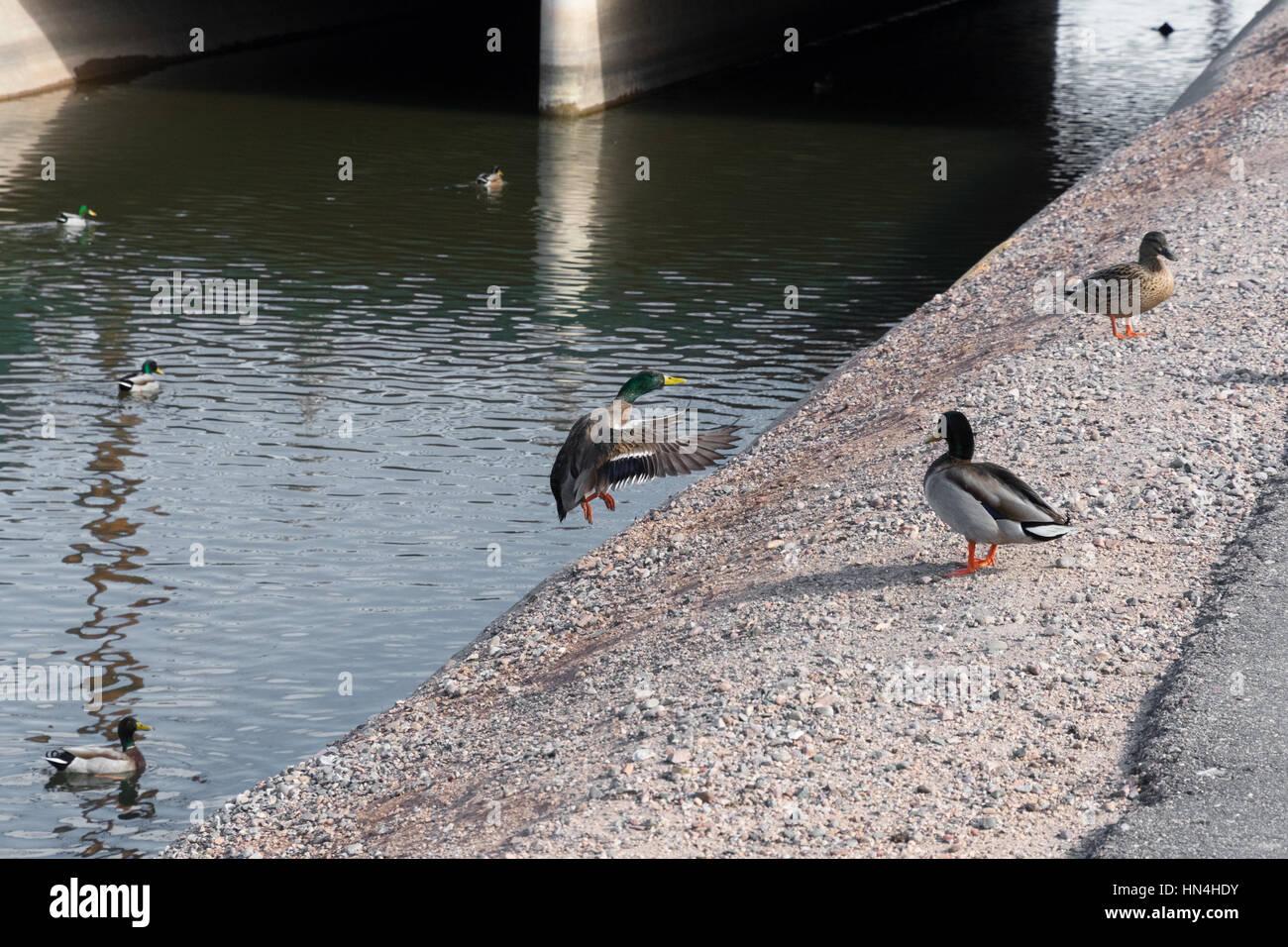 duck landing on shore grainy sharp image - Stock Image