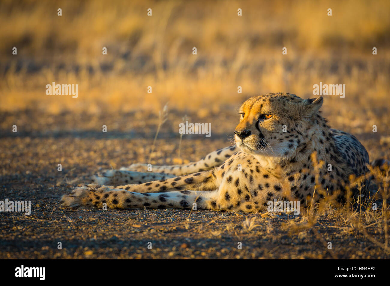 The cheetah (Acinonyx jubatus), also known as the hunting leopard, is a big cat that occurs mainly in eastern and - Stock Image