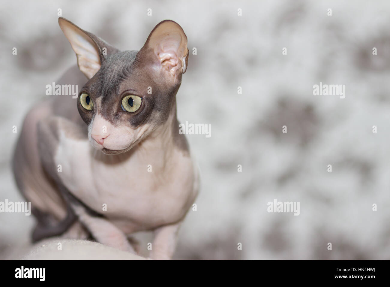 Cat breed sphinx sits on the back of the sofa - Stock Image