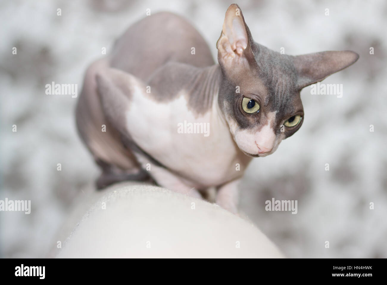 Cat breed Sphynx looks down from the back of the sofa - Stock Image