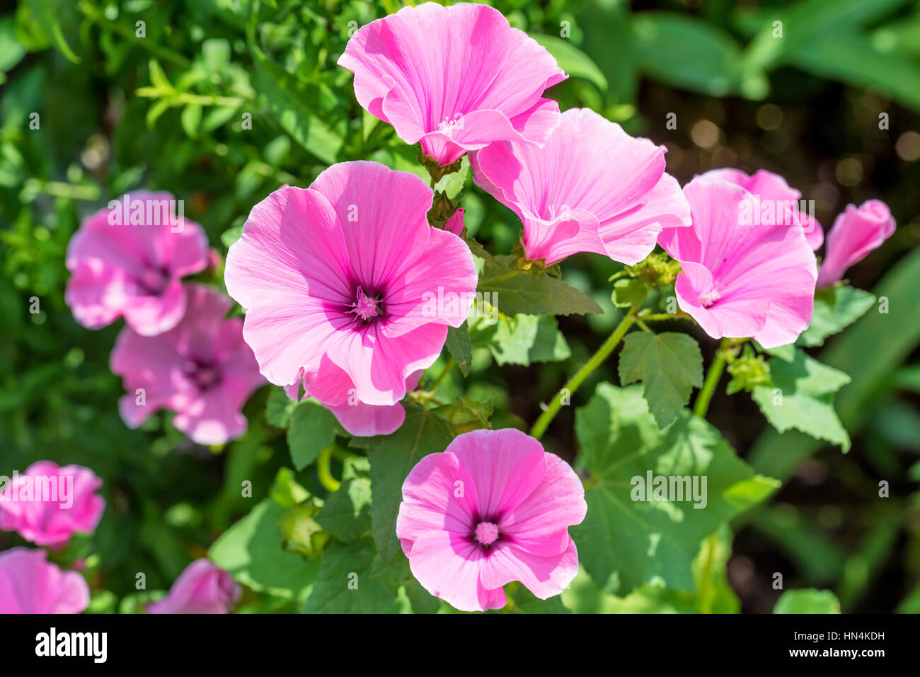 Pink Mallow Or Malva Flowers In The Home Garden