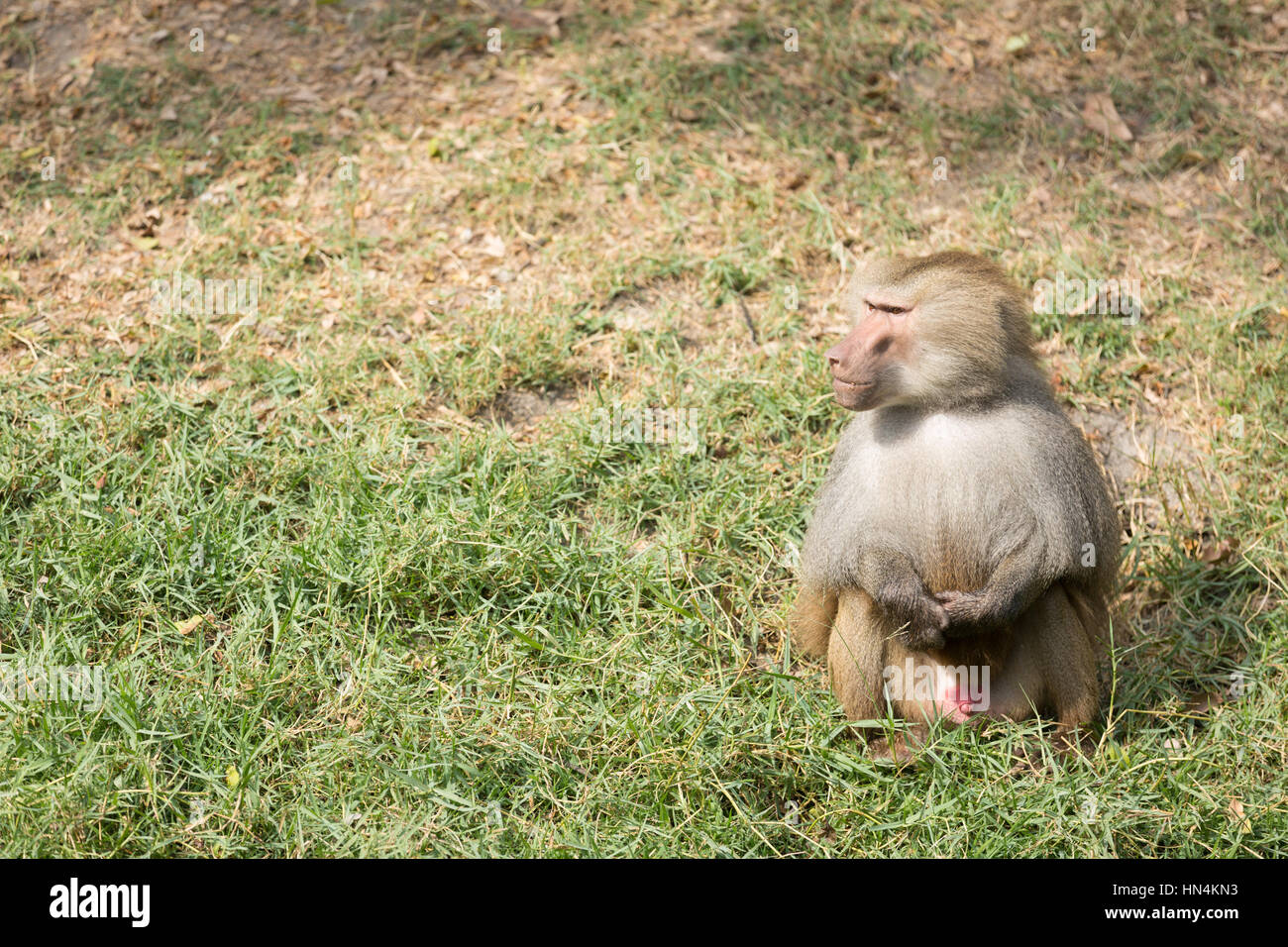Baboons are African and Arabian Old World monkeys belonging to the genus Papio, part of the subfamily Cercopithecinae. - Stock Image