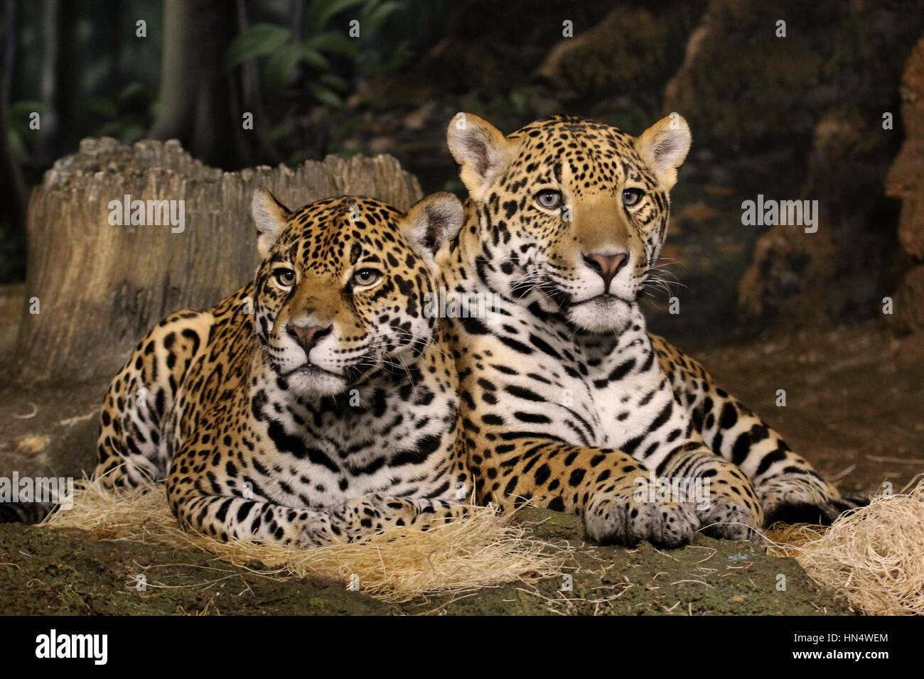 Jaguars sitting sitting side by side - Stock Image