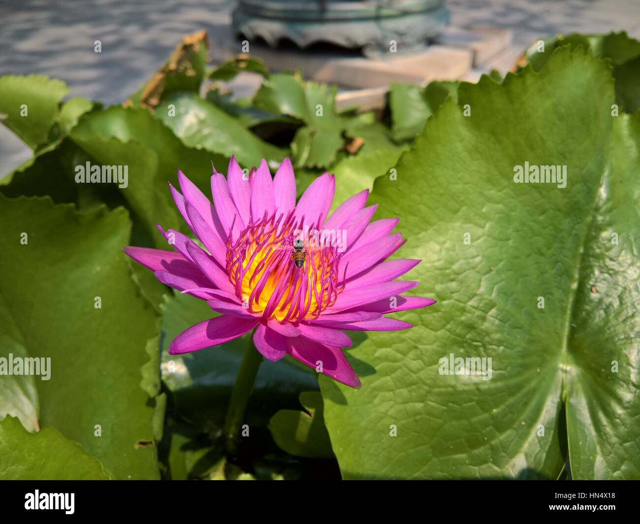 Bug eating flower petal stock photos bug eating flower petal stock close up flower a beautiful purple waterlily or lotus flower stock image mightylinksfo