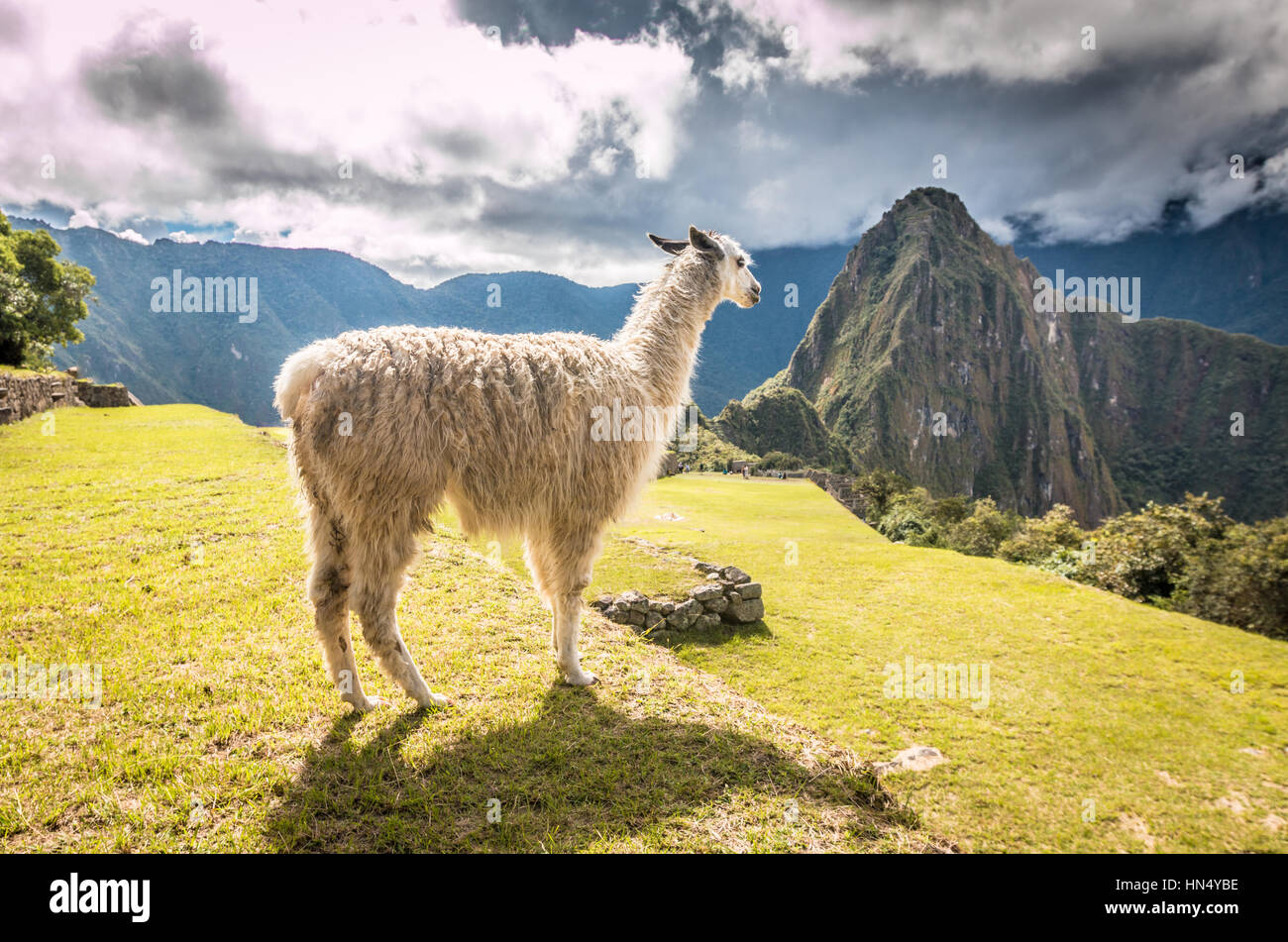 Llama in Machu Picchu - Stock Image