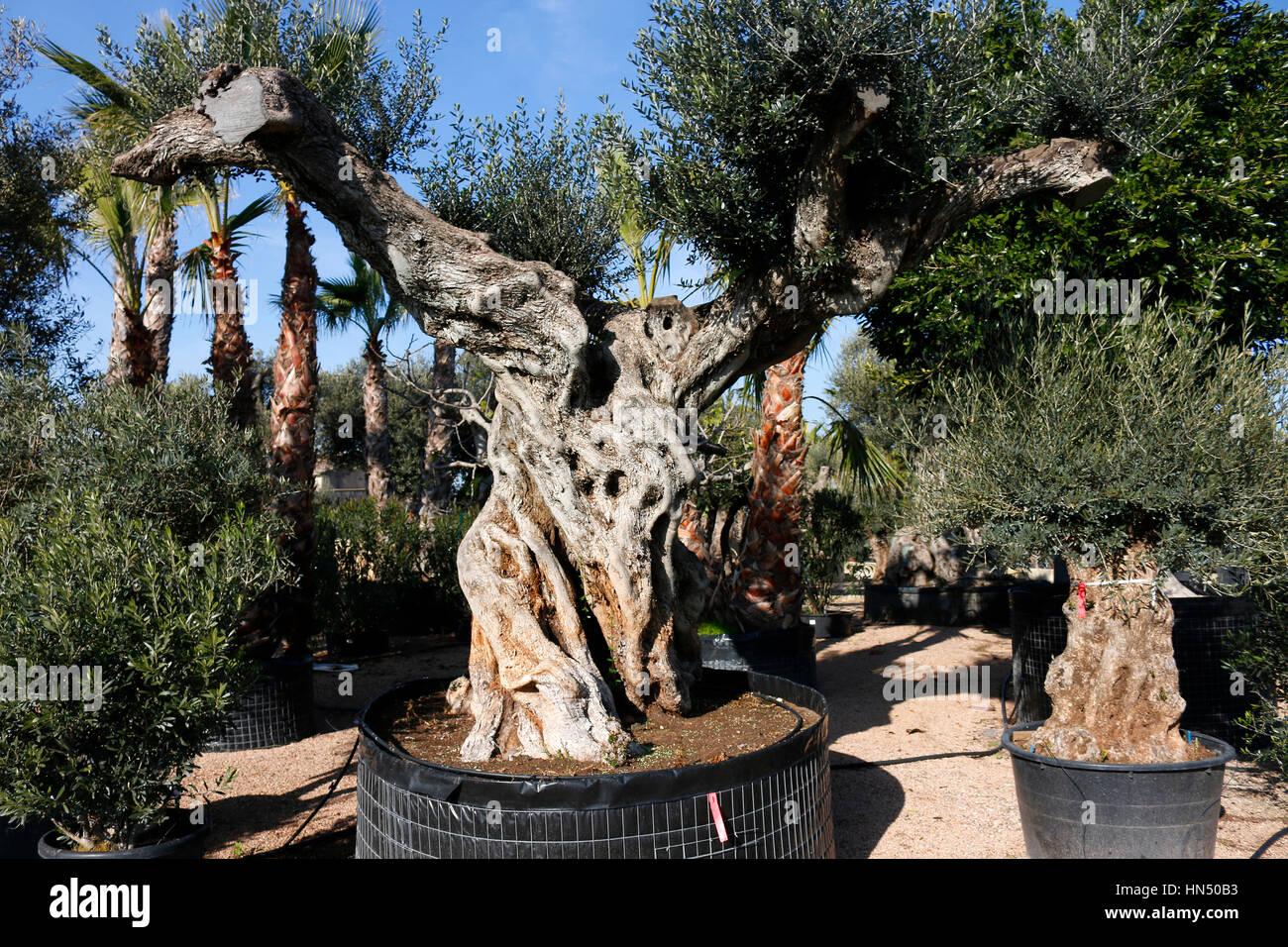 alte Olivenbaeume, die zum Verkauf in einer Gaertnerei angeboten werden, Mallorca . - Stock Image