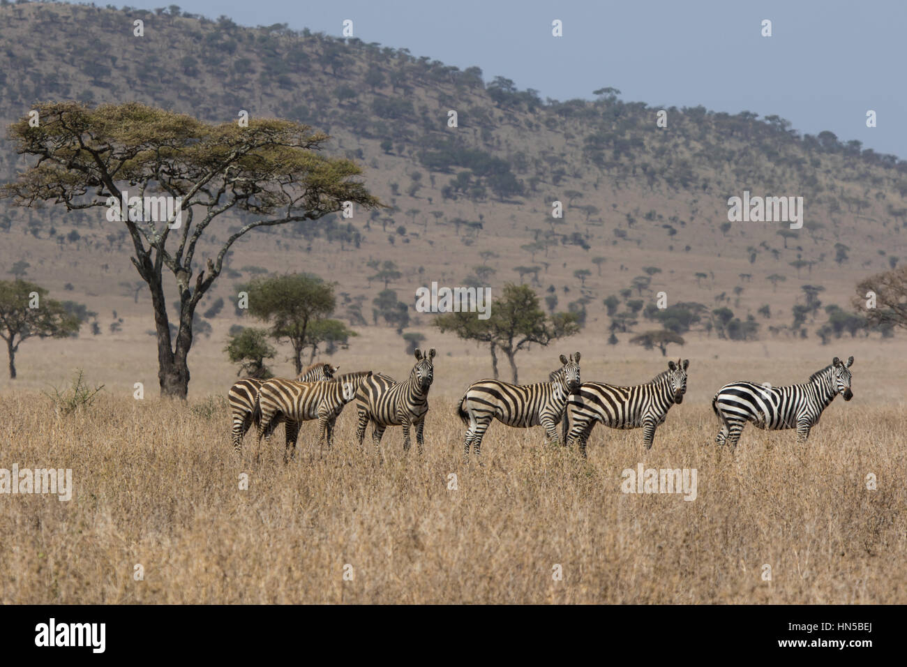 emphasis on family group of zebras standing in the savannah near Acacia on a hot sultry day - Stock Image
