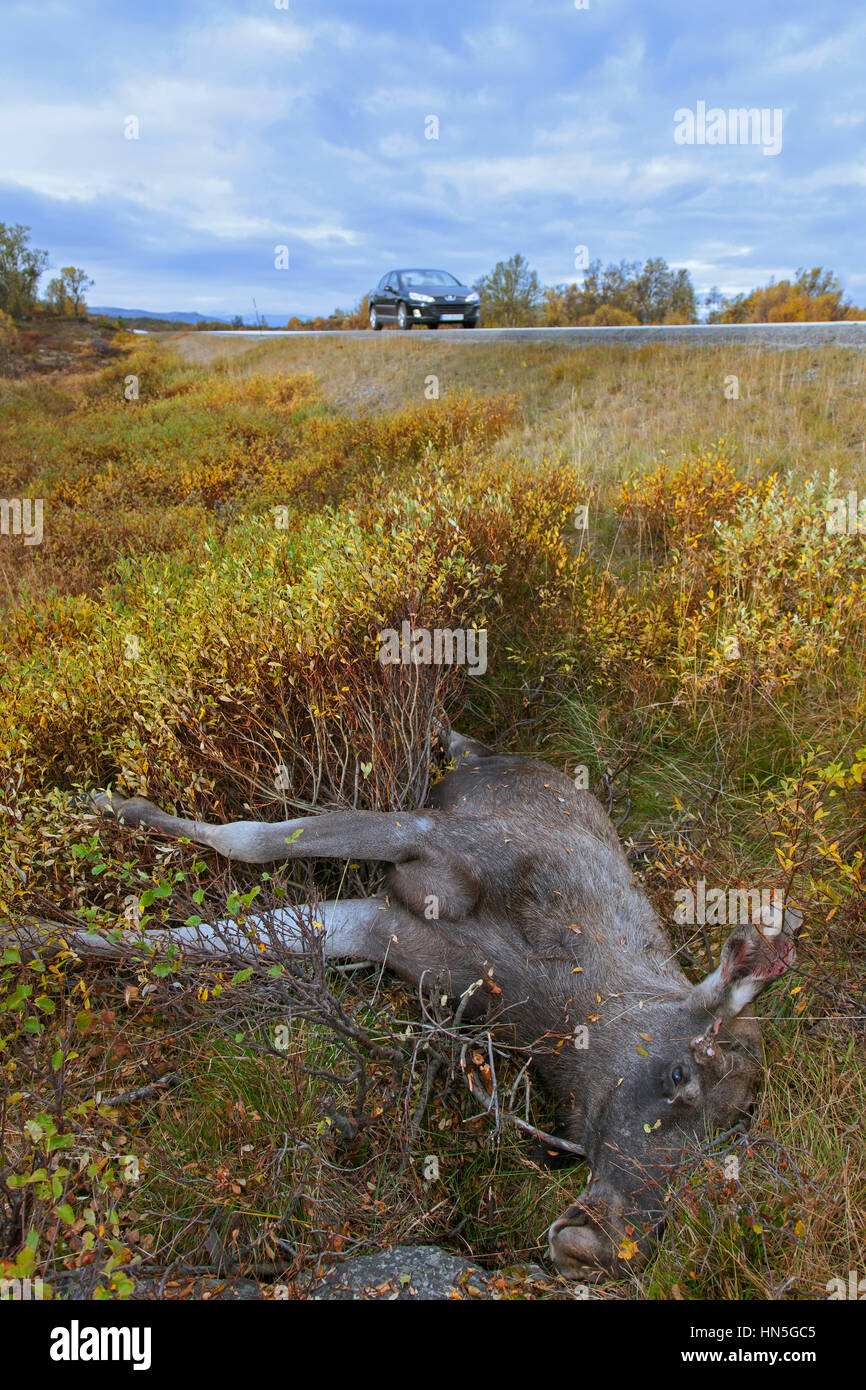 Moose (Alces alces) roadkill after collision with speeding car - Stock Image