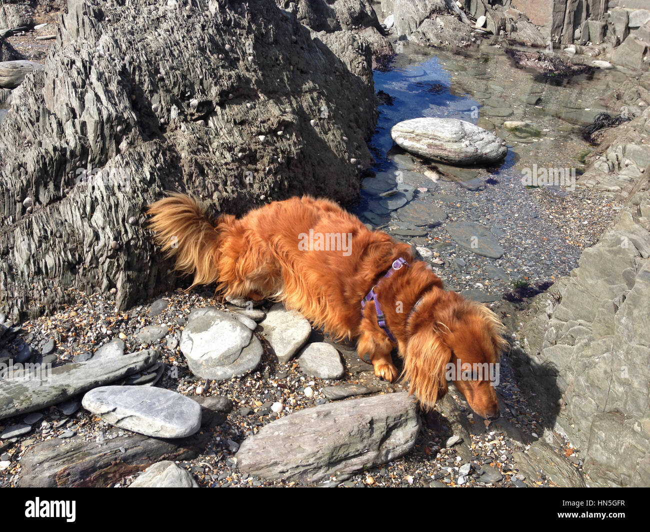 Long haired dachshund explores a rock pool on Grunta Beach near village of Morthoe not far from Woolacombe in Devon, - Stock Image