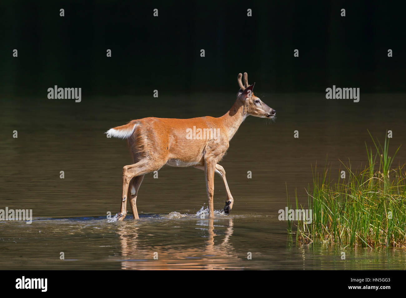 Whitetail deer / white-tailed deer (Odocoileus virginianus), young buck with antlers covered in velvet in shallow Stock Photo