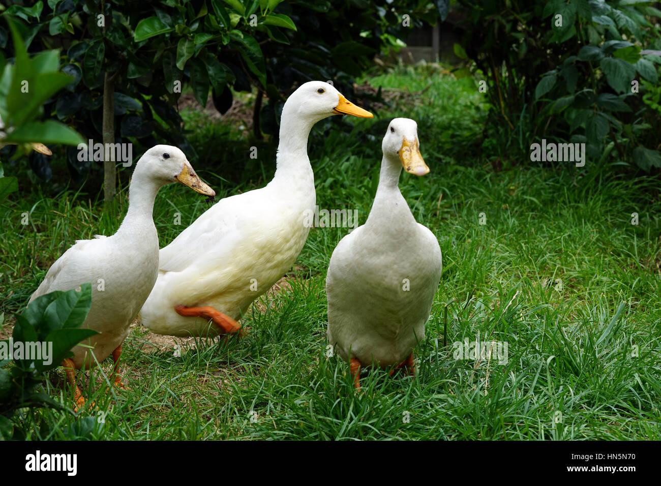 Peking ducks in a garden on a farm - Stock Image