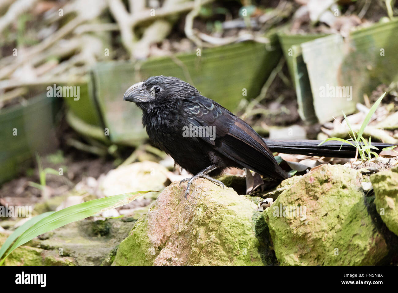 Groove-billed Ani (Crotophaga sulcirostris) in Vegetation in Mexico - Stock Image