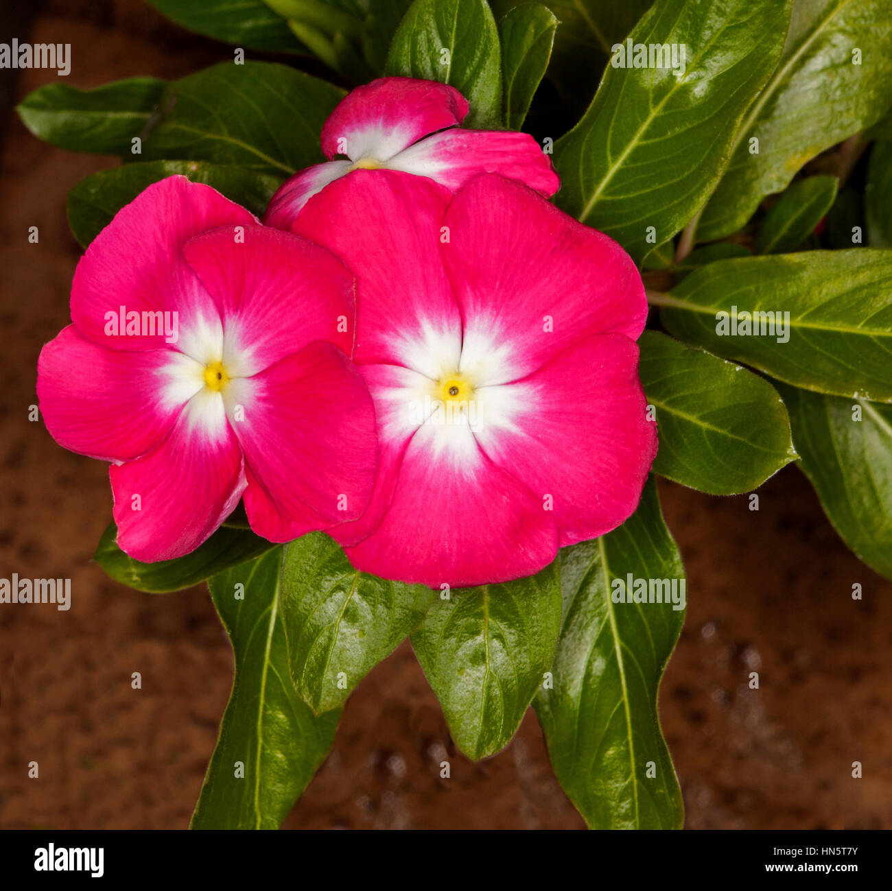 Cluster of deep pink red flowers with white centres and dark green cluster of deep pink red flowers with white centres and dark green leaves of catharanthus roseus commonly known as vinca mightylinksfo