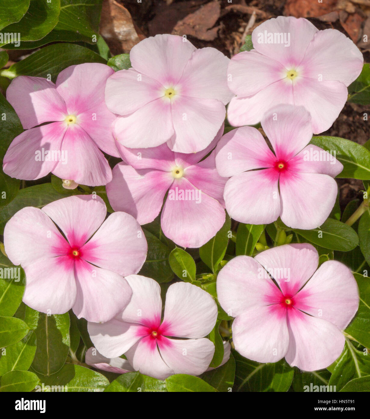 Cluster Of Pale Pink Flowers With Deep Pink Centres Of Catharanthus