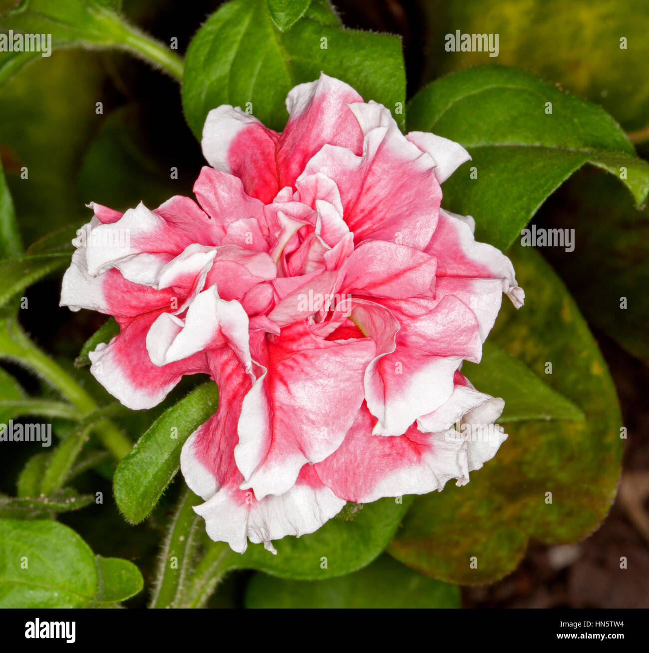 Pink flowers white edges stock photos pink flowers white edges spectacular vivid pink flower of petunia with white edges to frilly double petals on background of mightylinksfo
