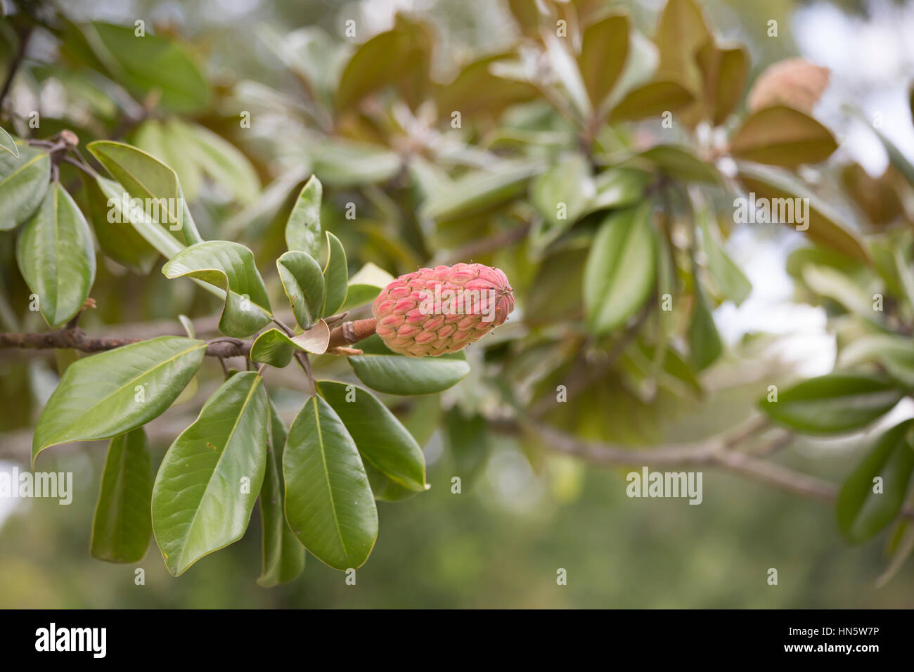 Close up of southern magnolia tree fruit and leaves Stock Photo ...