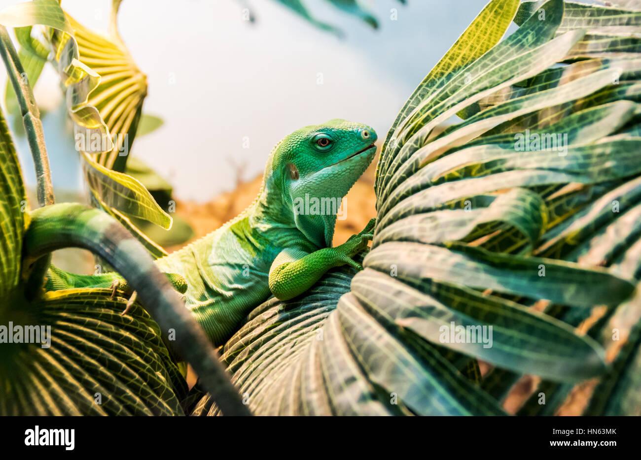 fiji banded iguana - Stock Image