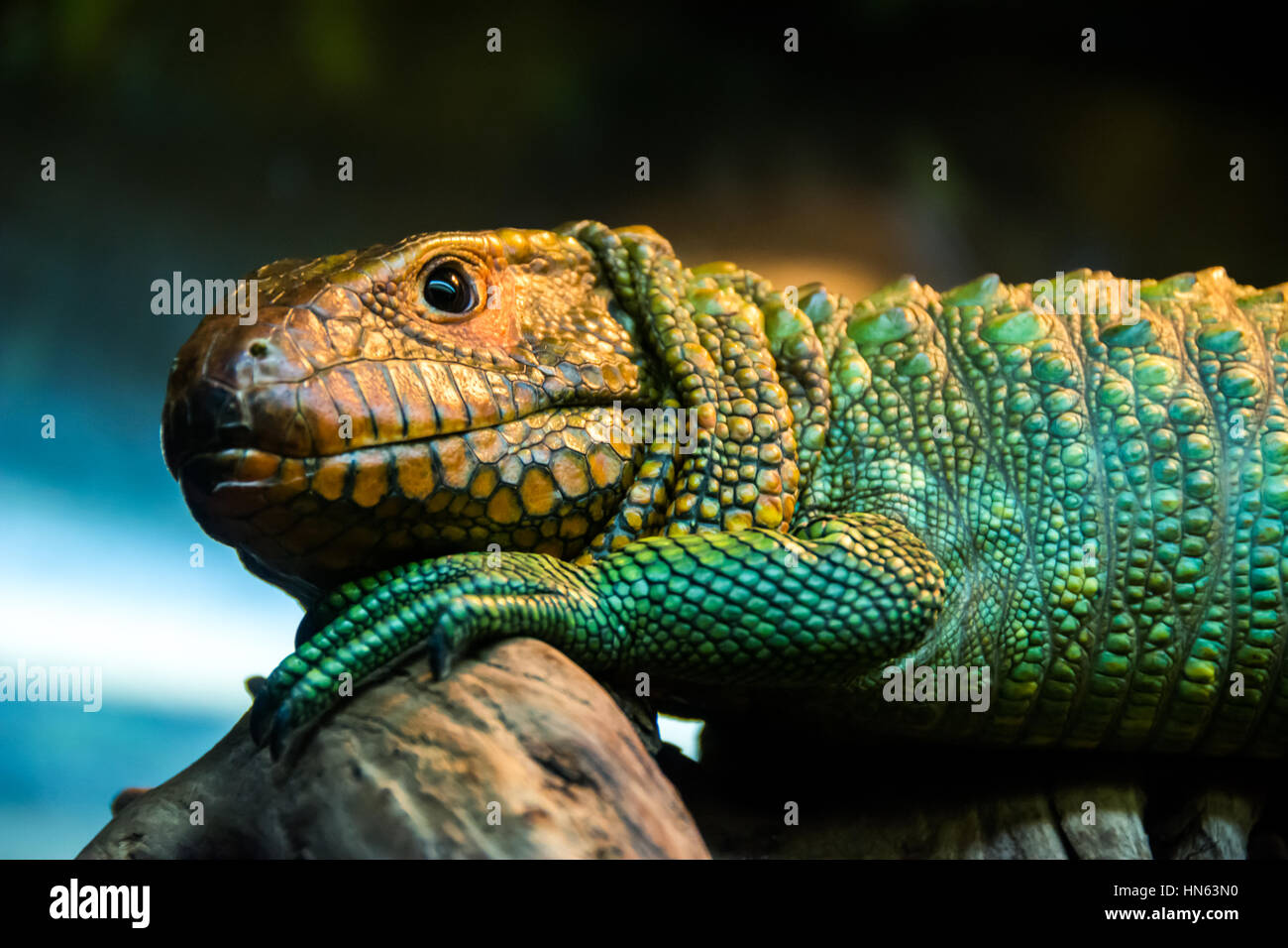 caiman lizard - Stock Image