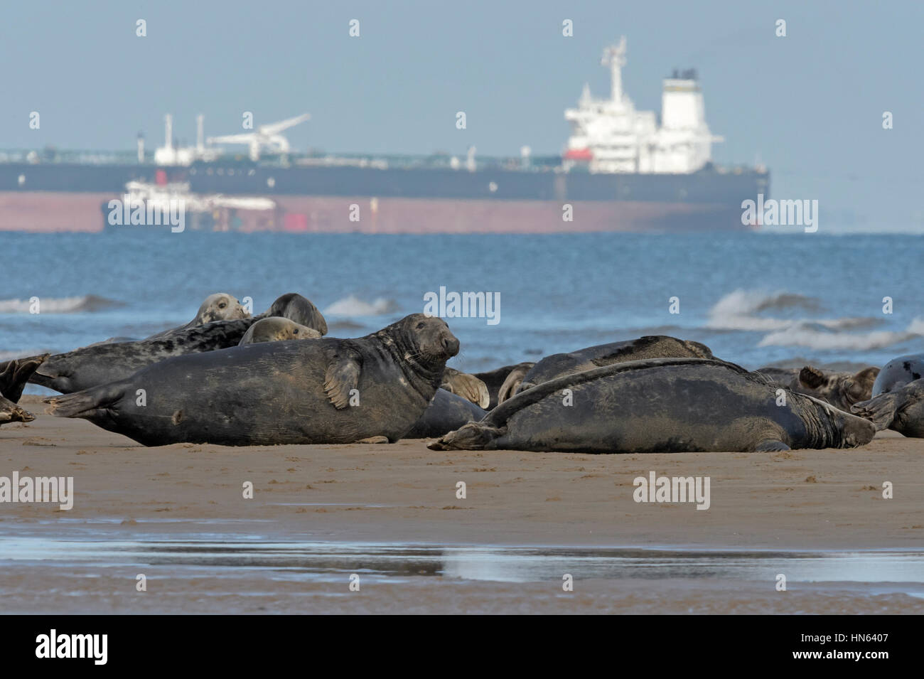 Atlantic grey seals (Halichoerus grypus) hauled out on beach, with oil tanker in background. Humber estuary, Lincolnshire, - Stock Image