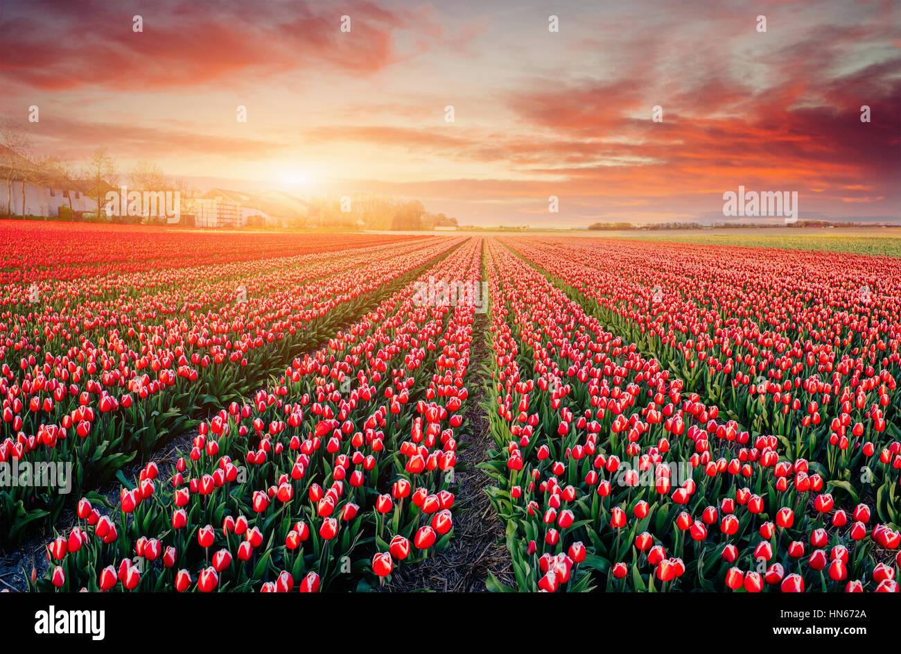 rows of pink tulips in Holland. - Stock Image