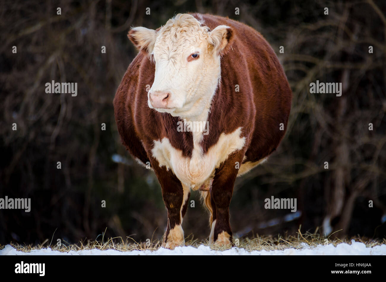 A pregnant, brown and white jersey cow standing in snow - Stock Image