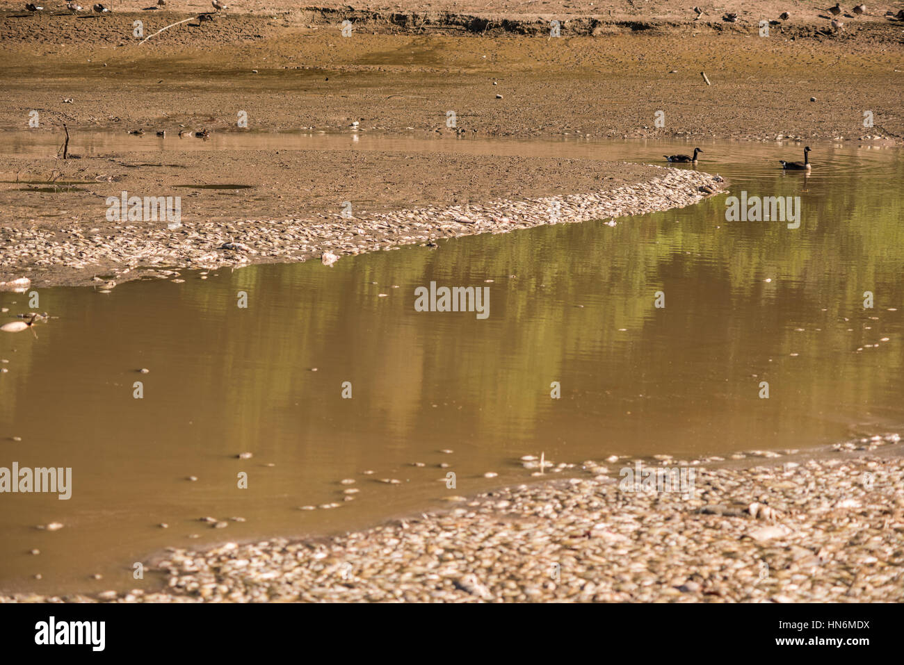 Dead fish in water with swimming geese after lake drainage and dredging at Royal Lake Park in Fairfax, Virginia - Stock Image