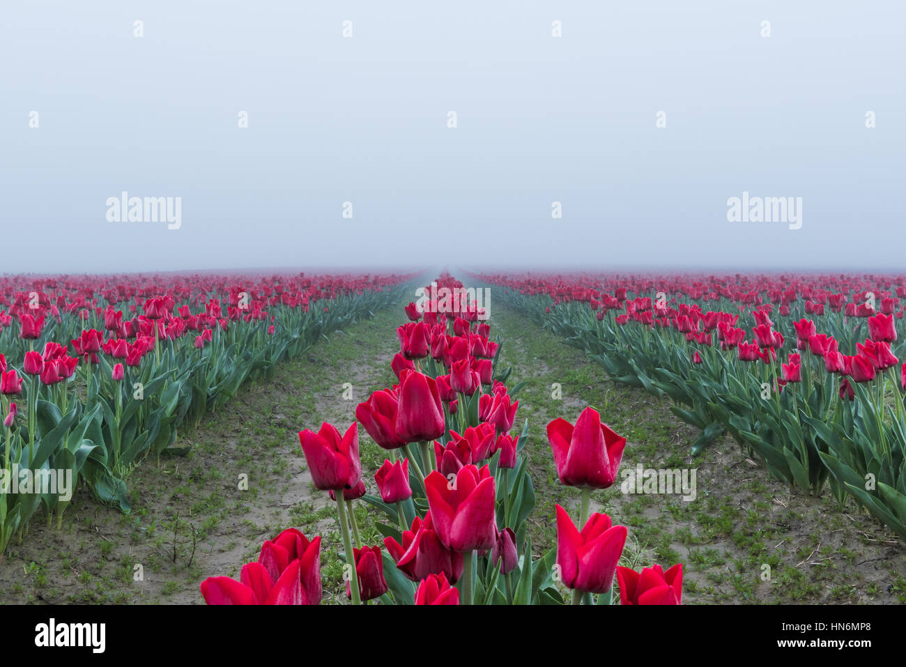 Long field rows of red tulips with vanishing point in dark misty foggy rainy overcast morning dew - Stock Image