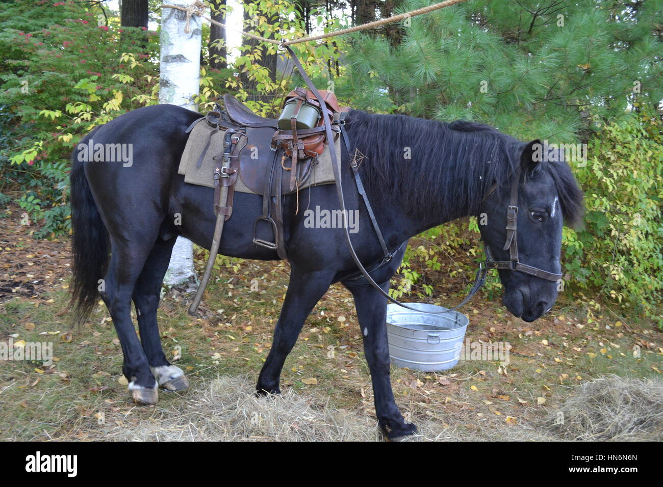 German cavalry horse, WW2 re-enactment, Massachusetts, U.S.A. - Stock Image