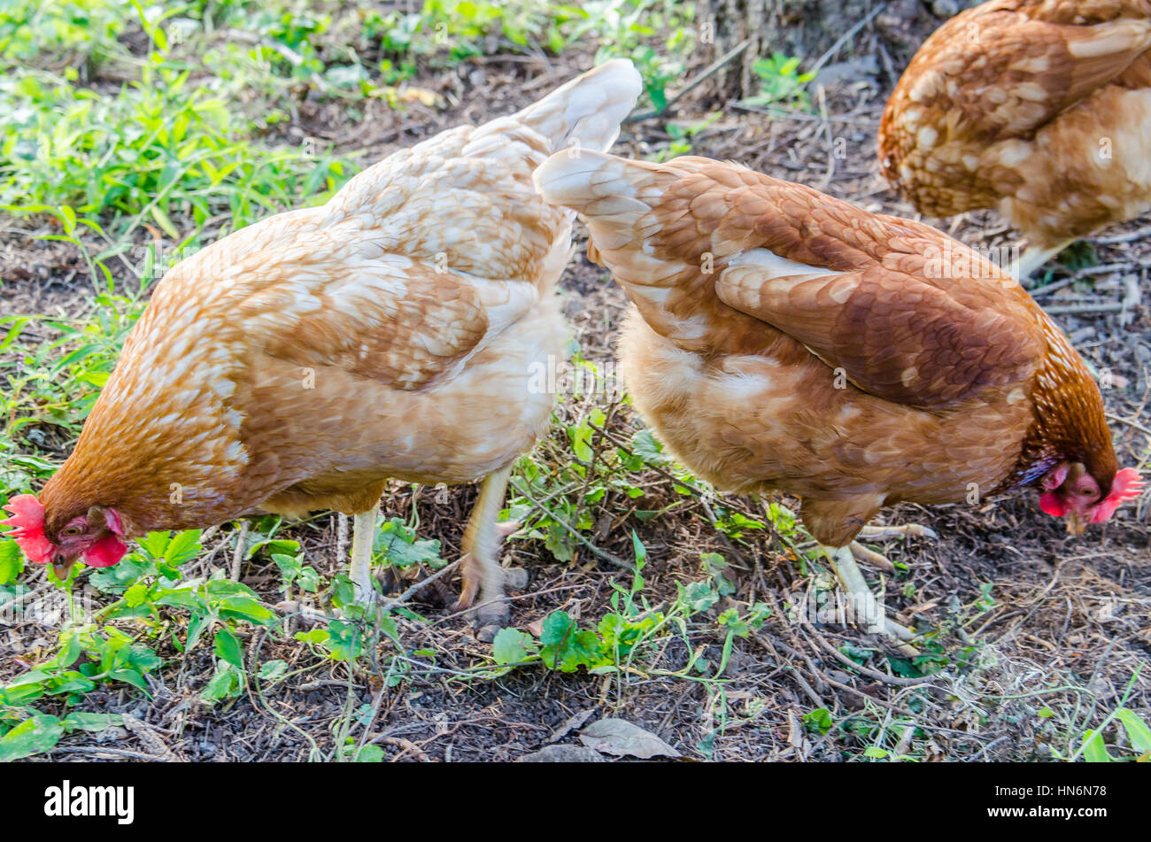 Three hens digging into ground eating - Stock Image