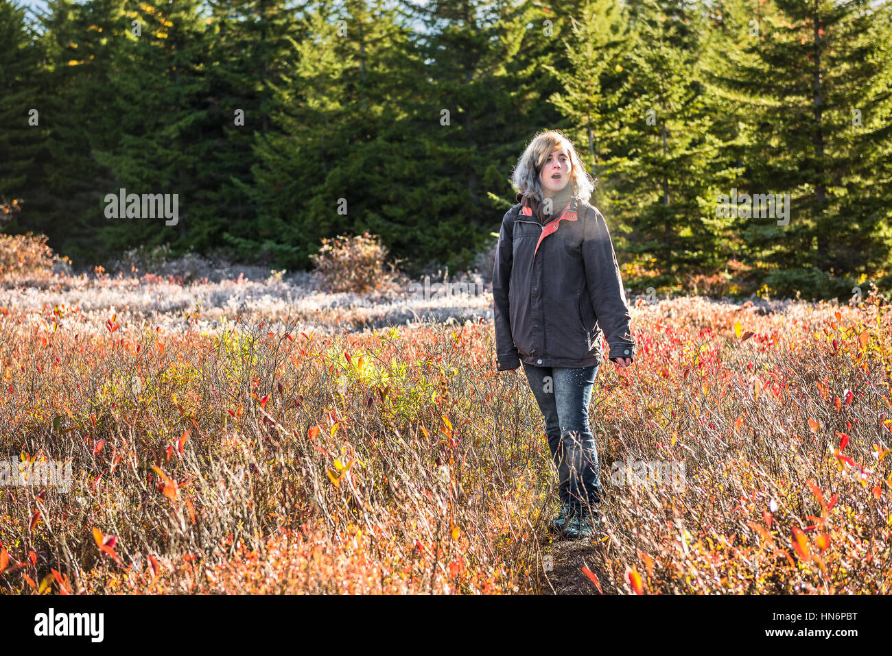 Young woman walking through frost iced trail path of blueberry bushes illuminated by morning sunlight at Dolly Sods, - Stock Image